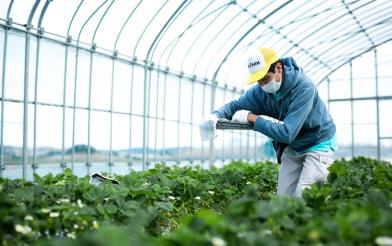 農業用ビニールハウスで作業をする社員